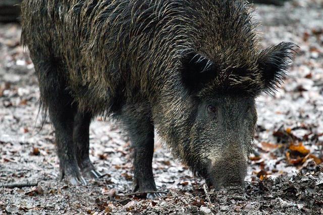 Wildfleisch vom Wildschwein ist besonders reich an B12